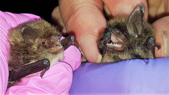 Sus Professor Confirms Rare Bat Species Spotted For First Time In Wiltshire