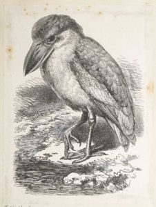 Dalziel after Thomas W Wood, unidentified natural history illustration