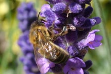 Honey bee foraging on lavender