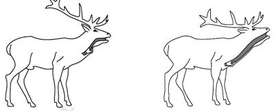 Deer larynx
