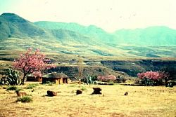 Besotho trees and rural houses 1970s