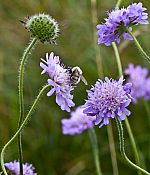 scabious2