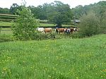 cows in Caseford Bottom