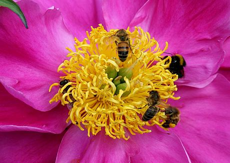 Bees on pink Peony