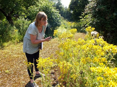 Researcher looking to see what insects feed on ragwort