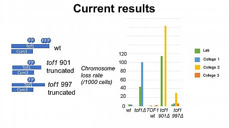Results from the students demonstrates that deletion of pat of the tof1 gene results in increased chromosome instability