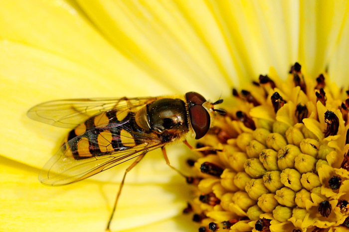 identifying a bee   for education         the laboratory