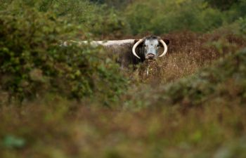Longhorn cattle amongst the scrub at a study site, Knepp Castle Estate. Photo: Christopher Sandom