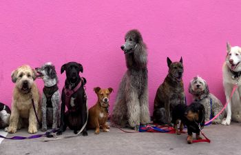 A line up of assorted dogs against a cheery pink background wall