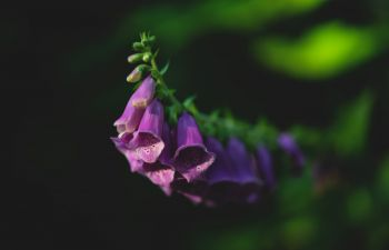 A close up of the purple flowers of the foxglove.