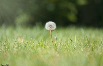 A dandelion seed head in sunshine