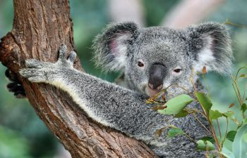 A koala bear clings on to a tree while staring at the camera