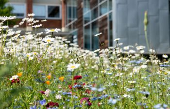 A close-up photo of the wild flowers growing on the University of Sussex campus