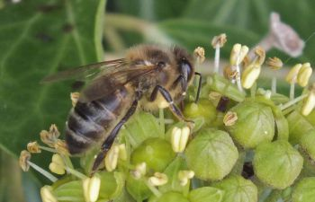 A honeybee on a plant