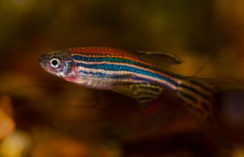 A zebrafish with shimmering scales in red, orange and blue, against an orange blurred background
