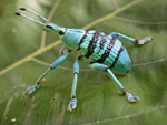 A blue weevil, commonly found in Papua New Guinea