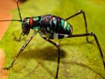 A colourful rainforest cricket