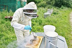 Using the freeze-brood technique to assess hygienic behaviour in honey bee colonies